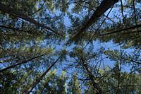 Pine ytree plantation. Shady forest.