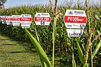 Galien, Michigan - Varieties of corn growing from seeds produced by Pioneer, a DuPont company. Nearly all corn grown in the United States is genetical...