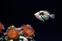Lagoon triggerfish Coral reef Clown triggerfish.