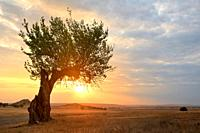 Autumn scene old tree at sunset in Dobrogea Romania.