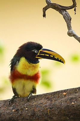 Chestnut-eared Aracari, Pteroglossus castanotis, Pantanal, Brazil.
