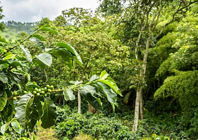 Coffea Plantation, Salento, Quindio Department, Colombia.