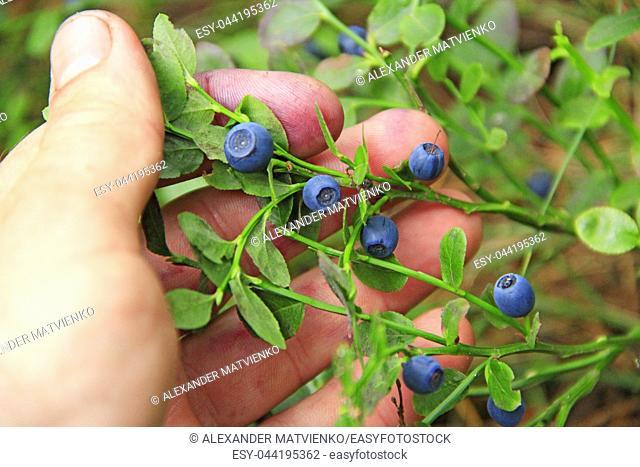 Human hand gathering wild berries. Harvesting whortleberries. Ripe dark berries of bilberry in forest. Picking bilberries. Crop of forest berry