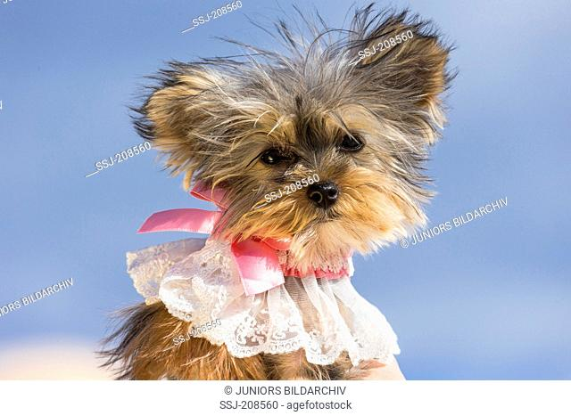 Teacup Yorkshire Terrier. Portrait of adult bitch wearing a lace collar. Germany