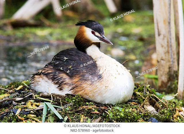 Great Crested Grebe (Podiceps cristatus) on nest brooding eggs