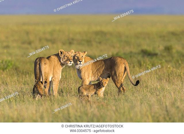 African Lion (Panthera leo), two females with cubs, Maasai Mara National Reserve, Kenya, Africa