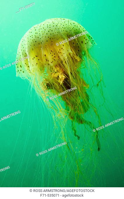Unidentified Jellyfish. Patterson Inlet. Stewart Island. New Zealand. South Pacific Ocean