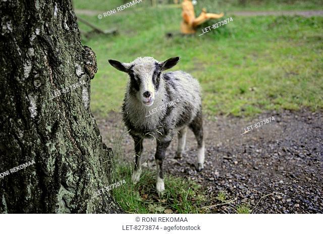 A sheep, originated from Åland Islands, in Kivinokka, Helsinki, Finland
