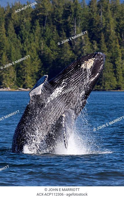 Humpback whale, Megaptera novaeangliae, British Columbia coast, Canada, breaching