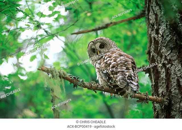 Spotted Owl, Vancouver Island, British Columbia, Canada