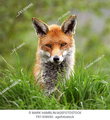 Fox (Vulpes vulpes), close-up portrait of adult taken in controlled conditions, UK, May