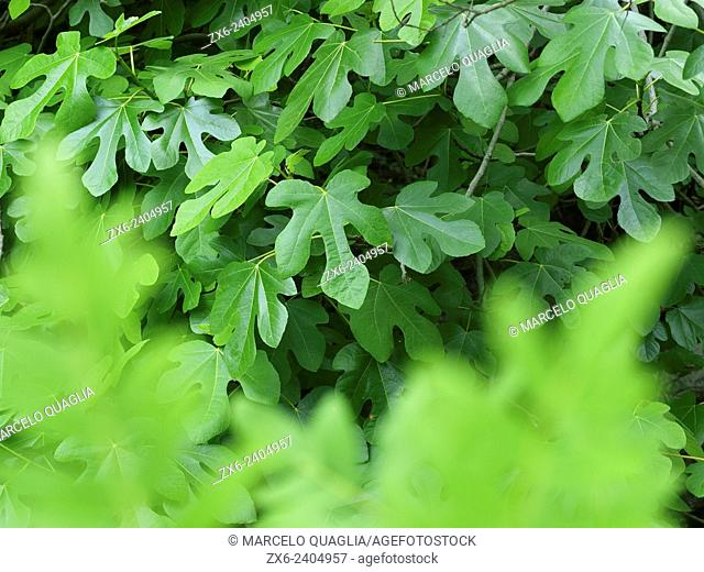 Fig tree leaves (Ficus carica). Montseny Natural Park. Barcelona province, Catalonia, Spain