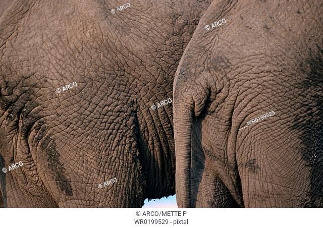 African, Elephants, Chobe, national, park, Botswana,Loxodonta, africana