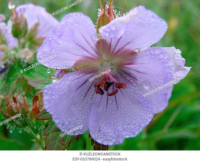 2007 on August, 02nd. Russia, Kuriles. Vegetation and island Urup flowers