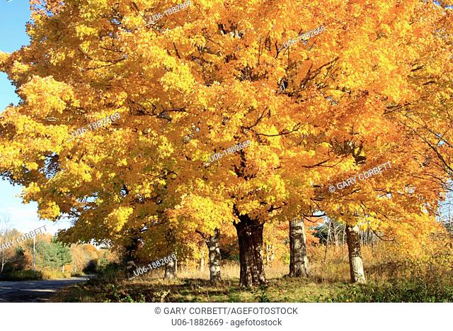 Acer saccharum sugar maple is a species of maple native to the hardwood forests of northeastern North America, from Nova Scotia west to southern Ontario