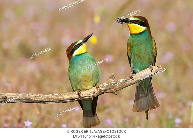 Male of European Beeeater Merops apiaster bringing captured insects to the female perched in the surroundings of the nest in breeding season as invitation for...
