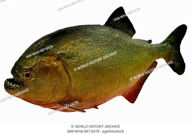 Model of a Red-bellied piranha, also known as the Red Piranha, a species native to South America in the Amazon River Basin. Dated 20th Century