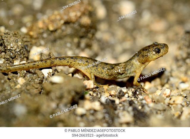 "Spanish ribbed newt """"Pleurodeles waltl"""" in Valdemanco, Madrid, Spain"