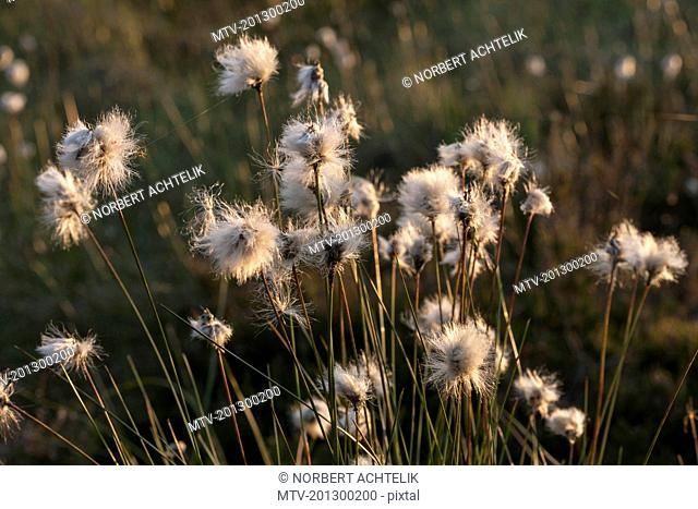 Cotton grass (Eriophorum angustifolium) growing in field, Bavaria, Germany