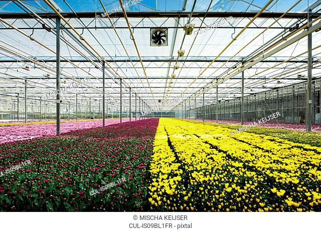 Growing variety of chrysanthemums in modern Dutch greenhouse, Maasdijk, Zuid-Holland, Netherlands