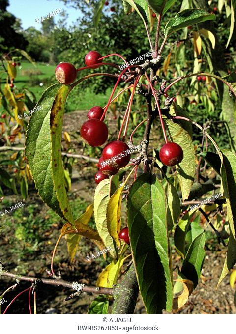 Toringo Crab-Apple, Toringo Crab apple Malus sieboldii, Malus x zumi, Malus zumi, branch with fruits