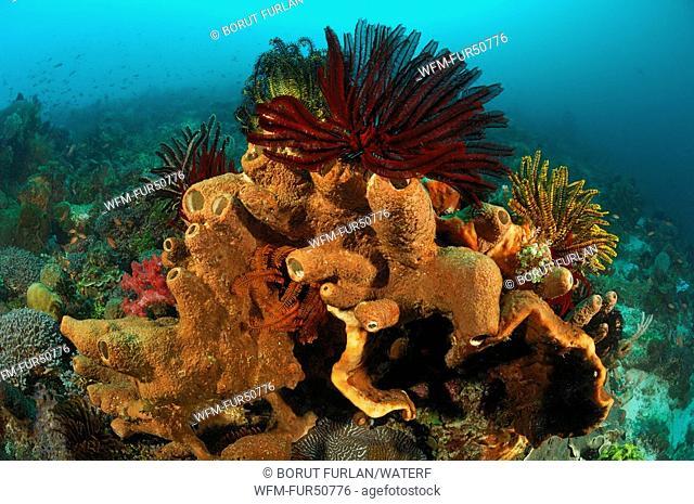 Reef with Tube Sponges, Porifera, Alor, Lesser Sunda Islands, Indo-Pacific, Indonesia