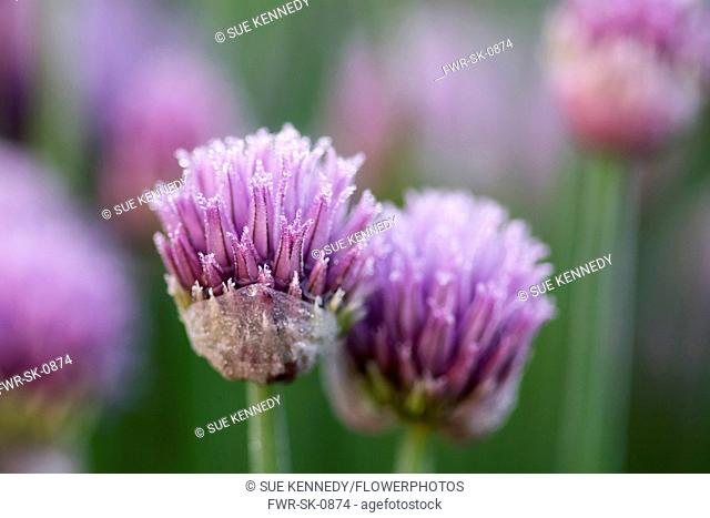 Chive, Allium schoenoprasum, Frost on Chives