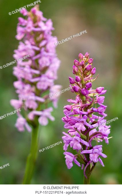 Fragrant orchids (Gymnadenia conopsea) in flower
