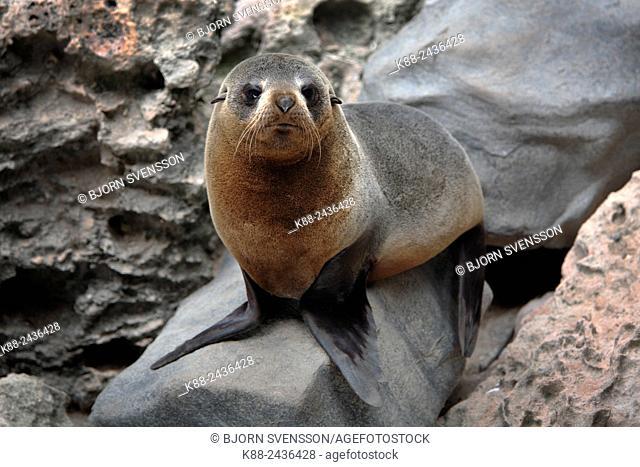 New Zealand fur seal pup (Arctosephalus forsteri) at Admirals Arch. Kangaroo Island, South Australia