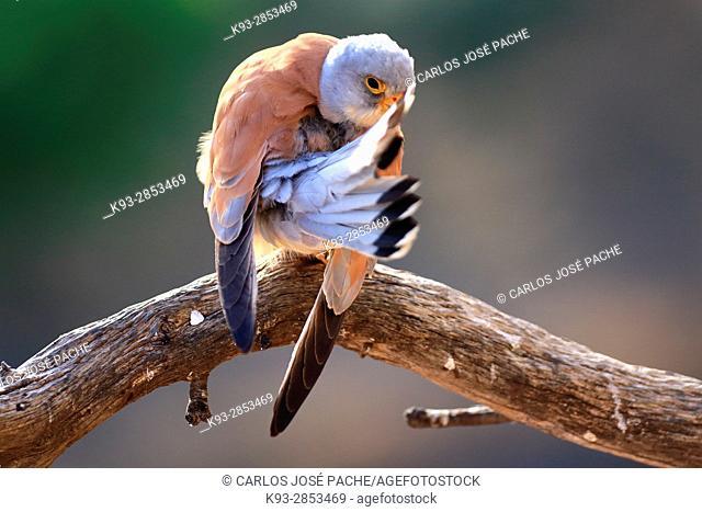 Lesser kestrel (Falco naumanni), male. Extremadura, Spain
