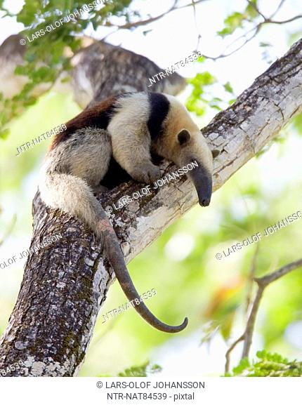 Northern Tamandua, Costa Rica