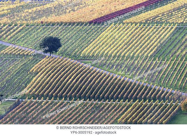 vineyards and tree in autumn, near Leiwen, Rhineland-Palatinate, Germany