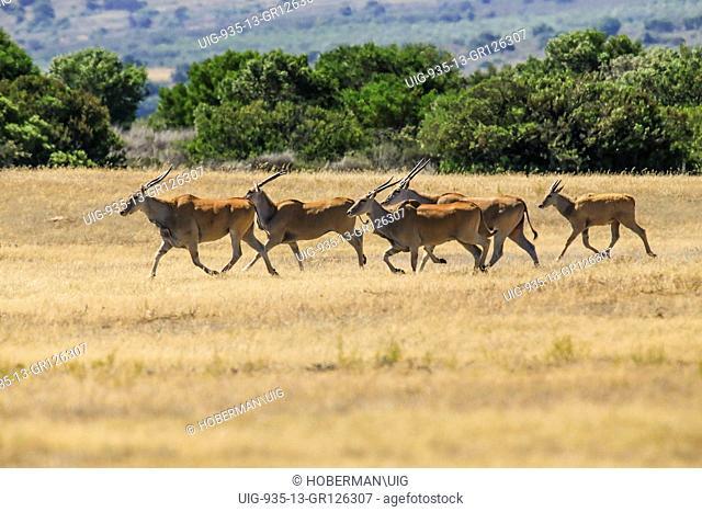 Group Of Eland Antelope In Namibia