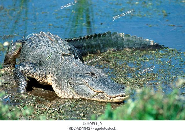 American Alligator Everglades national park Florida USA Alligator mississippiensis