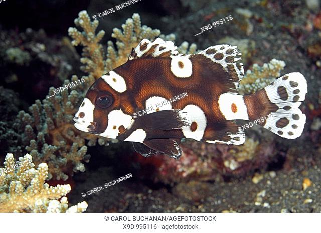 Adolescent, or Sub-adult Clown Sweetlips, also known as Many Spotted, or Harlequin Sweetlips, Plectorhinchus chaetodonoides, Tulamben, Bali, Indonesia, Bali Sea