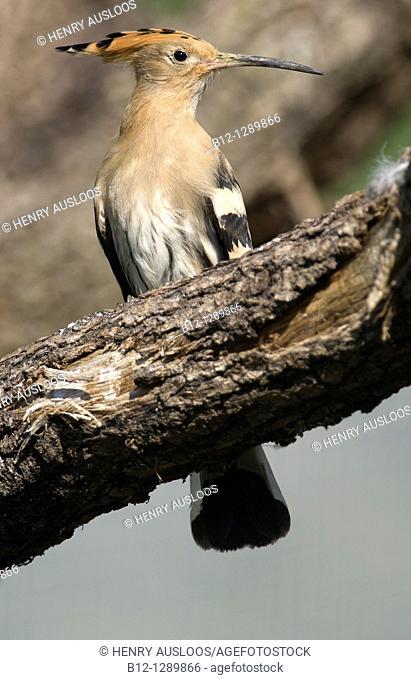 European Hoopoe (Upupa epops), France