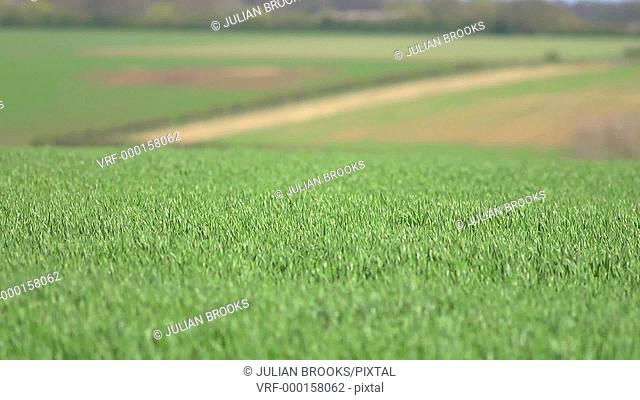 wind blowing on a green field seamless loop - shallow focus