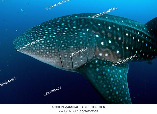 Whale Shark (Rhincodon typus) with small fish, Cenderawasih (Bird of Paradise) Bay, West Papua, Indonesia