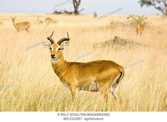 Ugandan kob (Kobus kob thomasi), buck, dry savannah near Ishasha, Queen Elizabeth National Park, Uganda, Africa