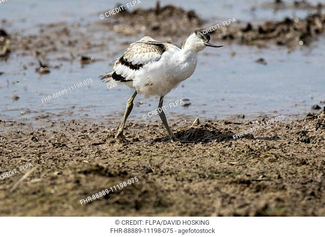 Avocet juvenile looking upwards for potential predators, Deepdale Marsh North Norfolk