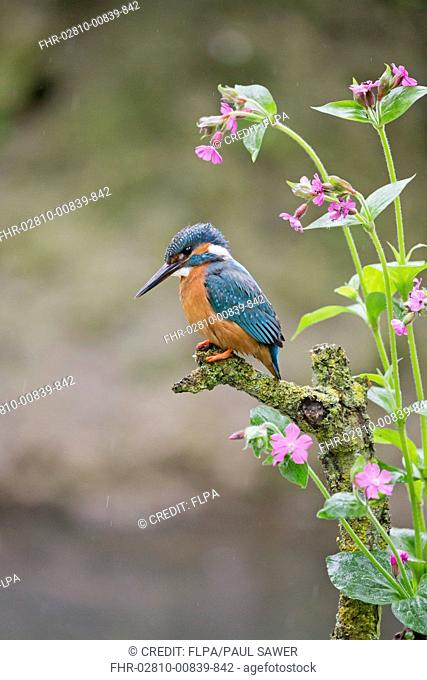 Common Kingfisher (Alcedo atthis) adult male, perched on lichen covered twig amongst Red Campion (Silene dioica) flowers, Suffolk, England, May