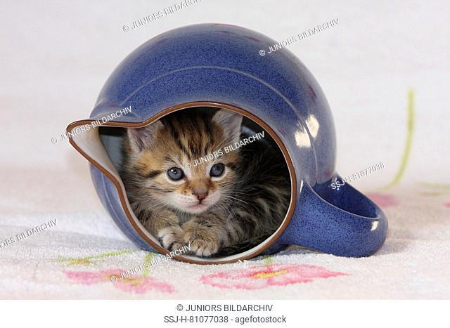 Domestic cat. Kitten in a jar. Germany