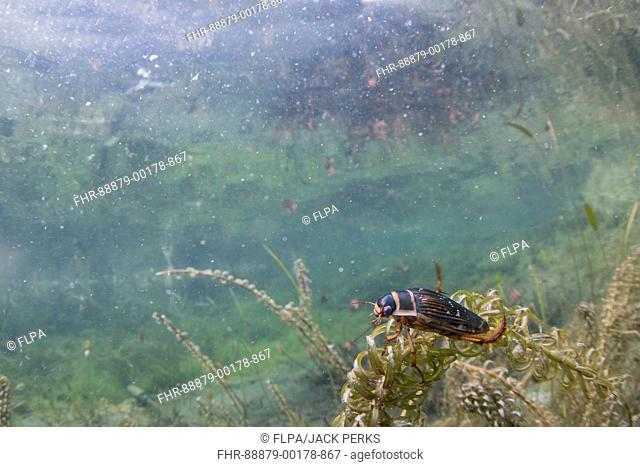 Great diving beetle, Dytiscus marginalis, adult, female, doncaster, yorkshire, march