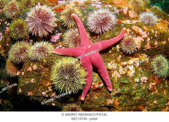 Slender-armed starfish Henricia sanguinolenta, Barents Sea, Russia, Arctic