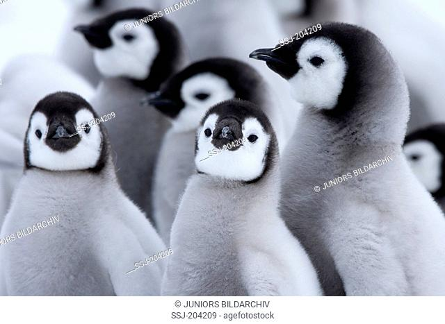 Emperor Penguin (Aptenodytes forsteri). Group of chicks. Snow Hill Island, Antarctica