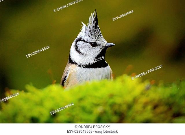 Detail hidden portrait of bird, Crested Tit