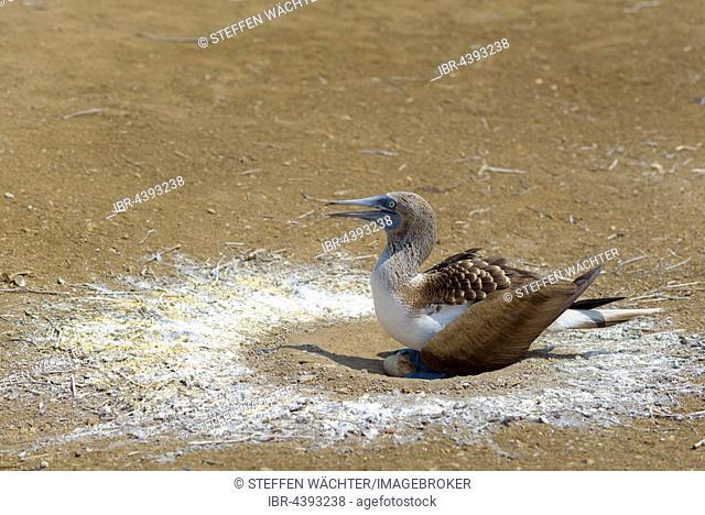 Blue-footed booby (Sula nebouxii) sitting in nest with eggs, brooding, Isla de la Plata, Machalilla National Park, Manabi Province, Ecuador