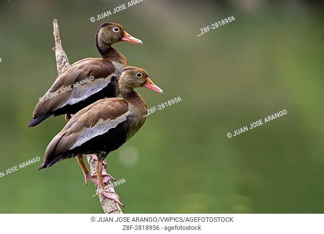 Black-bellied Whistling-Duck (Dendrocygna autumnalis), Cali, Valle del Cauca
