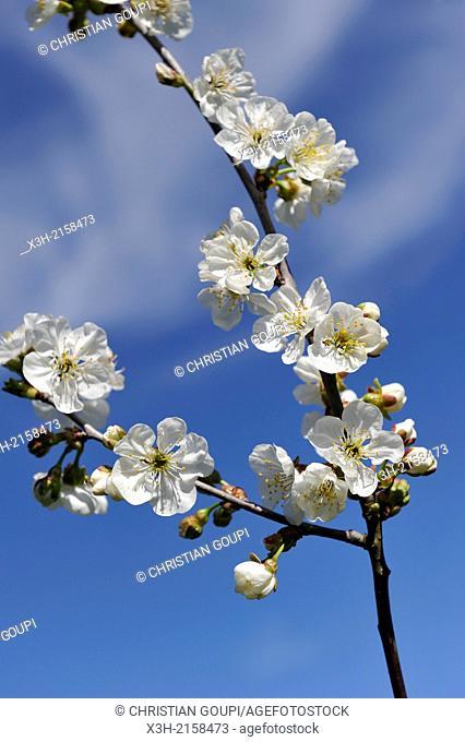 branch of blossoming cherry tree, Eure-et-Loir department, Centre region, France, Europe