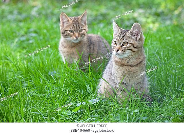 photo of two young wild cats in grass